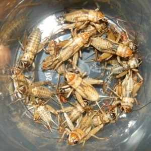 feeder_crickets